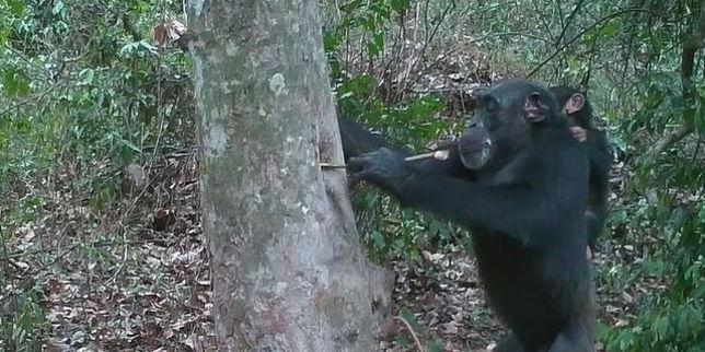Dans l'intimité des chimpanzés du parc de la Comoé