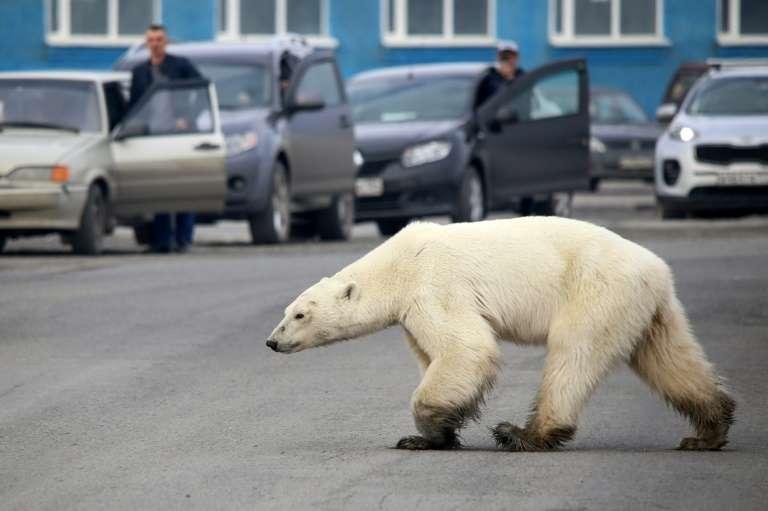 Un ours polaire affamé perdu à des centaines de kilomètres de la banquise